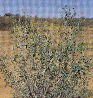 Queensland Bluebush or Golden Goosefoot